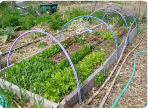 سبزیجات بهاری درحال رشد در مزارع باغبانی حیاط خلوت