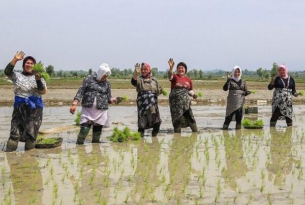 برنج آنلاین قد کشید!